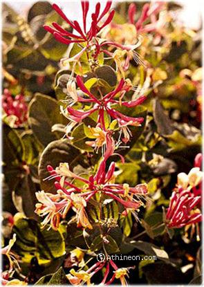 Honeysuckle Incense